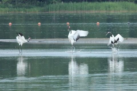 湖面にタンチョウ3羽